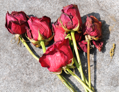 Half Dozen Red Roses at the Grave of F. Scott Fitzgerald