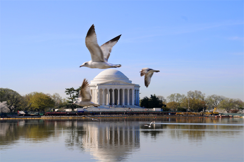 Thomas Jefferson Memorial With Seagulls. A lone cherry blossom tree is visible at the left edge of the photograph.