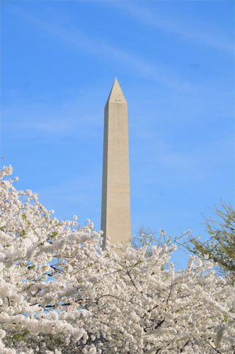 Spring in Washington - The Washington Monument Rises Above the Cherry Blossoms