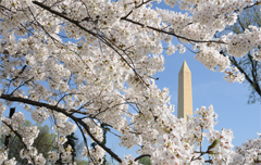 Spring Has Come to Washington - The Washington Monument Framed by Cherry Blossoms