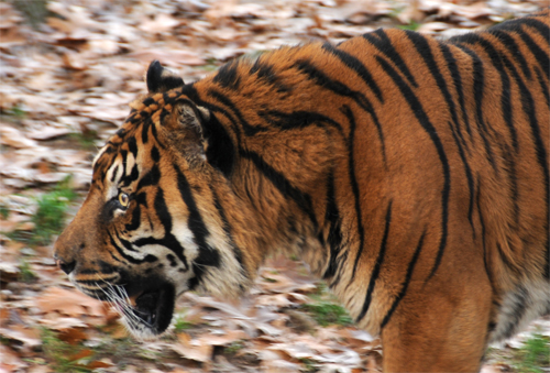 Pacing Sumatran Tiger at the National Zoo