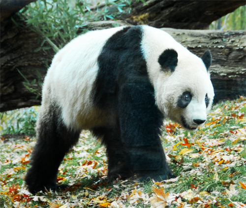 Giant Panda Mei Xiang or Tian Tian - Walking