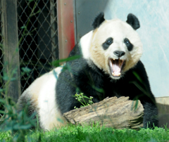 Giant Panda Mei Xiang or Tian Tian - Waking From a Restful Nap